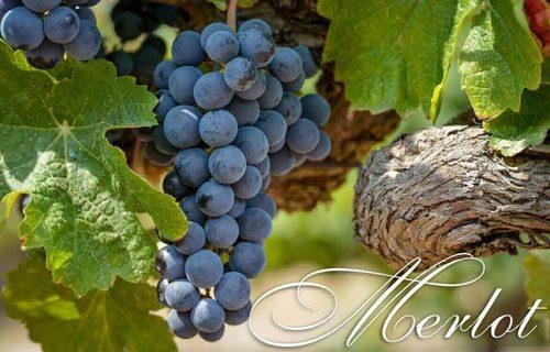 Rượu vang Merlot