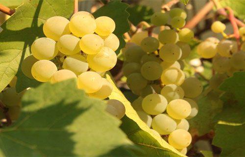 Nho Ugni Blanc - thành phần không thể thiếu trong vang Ý